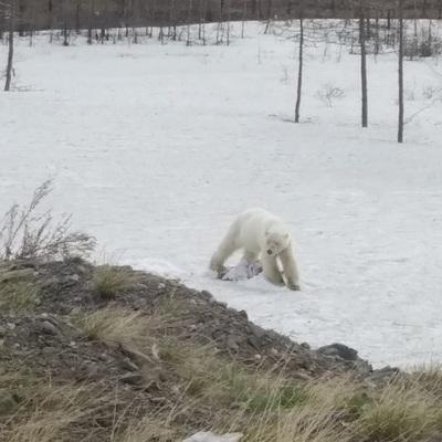 В Норильске поймали краснокнижного белого медведя