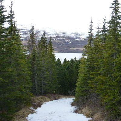 Леса, уничтоженные викингами, восстанавливают в Исландии