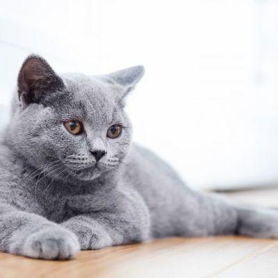 Кошку за 15 млн рублей выставил на продажу житель Ростова-на-Дону