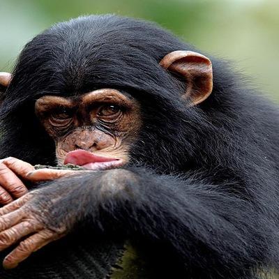 Более 20 берберских обезьян сбежали из зоопарка в городе Леффинген