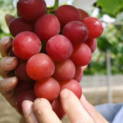 В Японии гроздь винограда продали на аукционе за $12 тыс