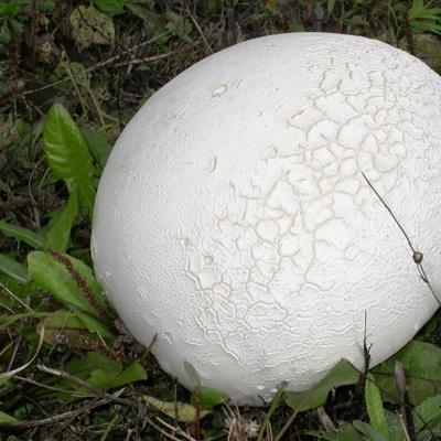 В Польше обнаружили поляну с россыпью гигантских грибов
