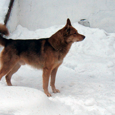В Туве завели дело о гибели женщины, которую растерзали дворовые собаки