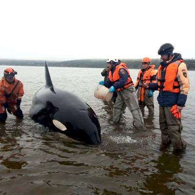 Спасатели помогли детенышу косатки, застрявшему на мели в бухте Гертнера на Колыме