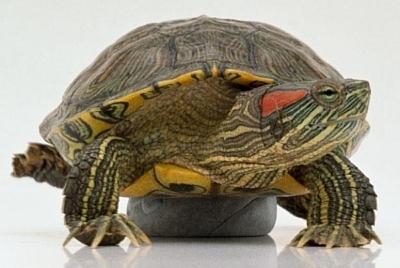 Петербуржцы хотят избавиться от купленных на улице красноухих черепах