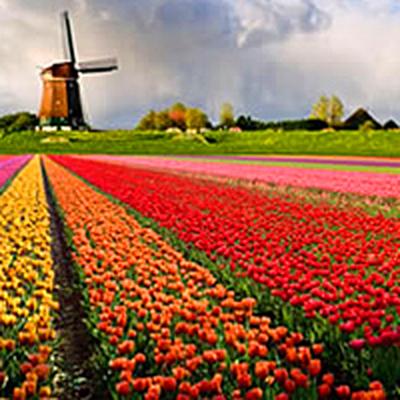 Тюльпановый сезон официально открыт в Нидерландах