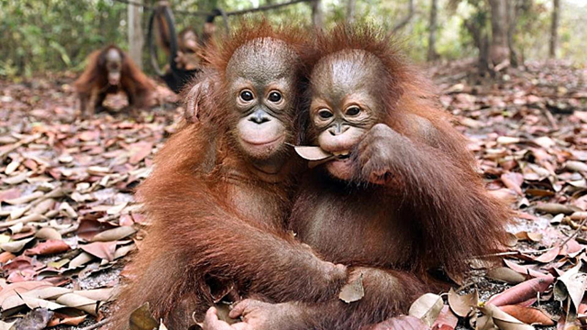 Как спасти орангутана