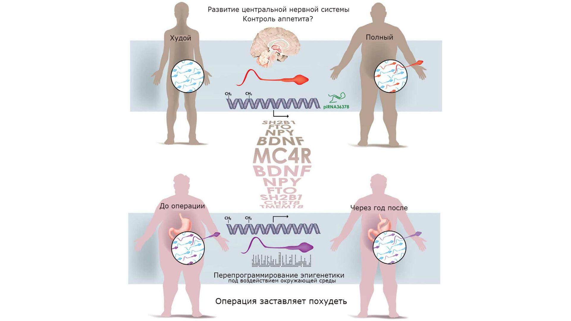 Качество спермы у мужчин с лишним весом