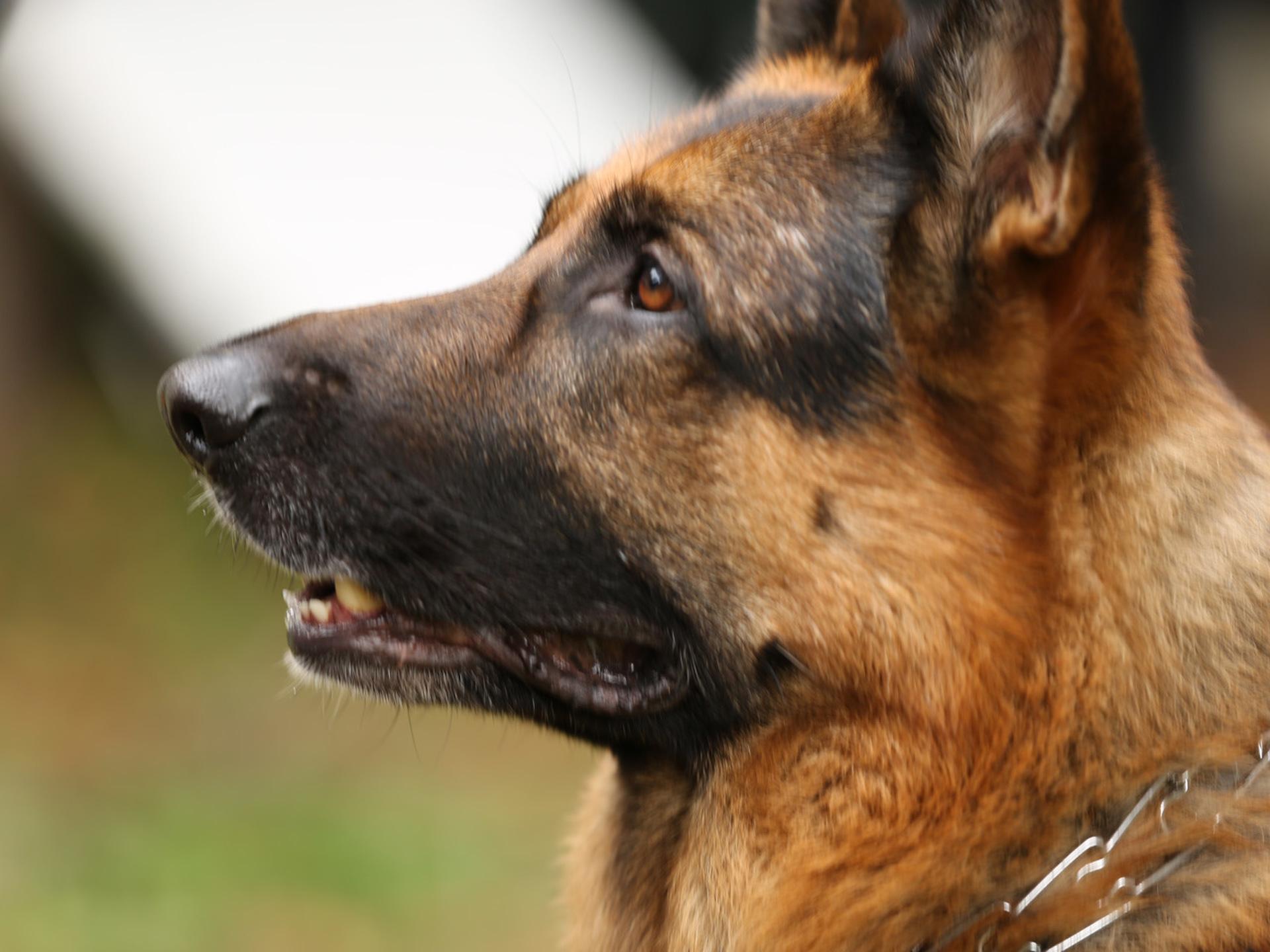 Лорд. Пес-полицейский