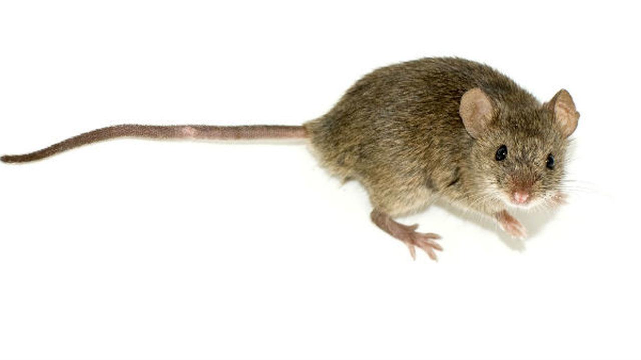 Кишечные бактерии уменьшили симптомы аутизма у мышей