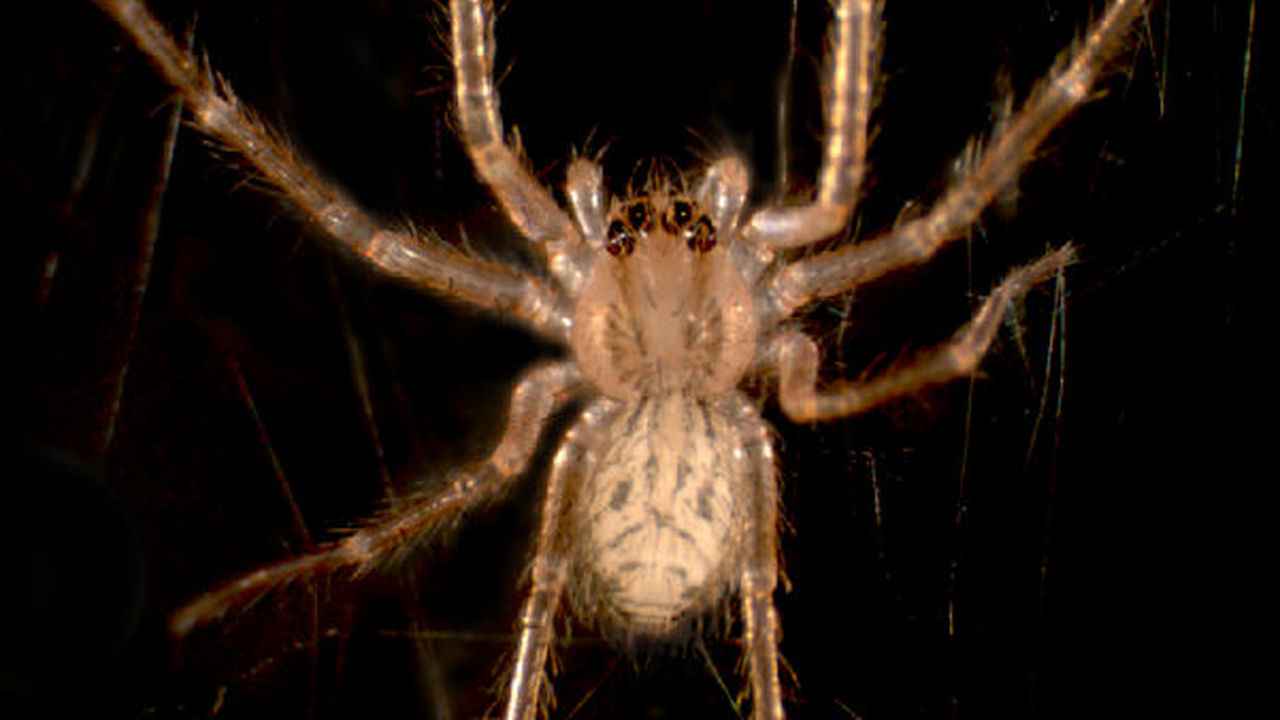 Зоологи объяснили способность пауков ползать по любой поверхности