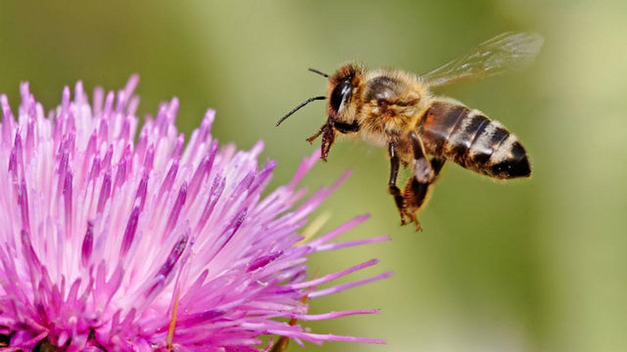 Для ориентации в пространстве пчёлы строят мысленные карты