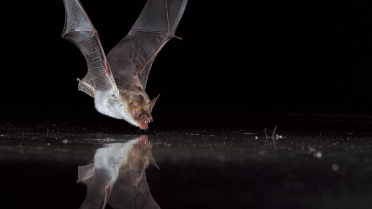 Летучие мыши используют поляризованный свет для навигации