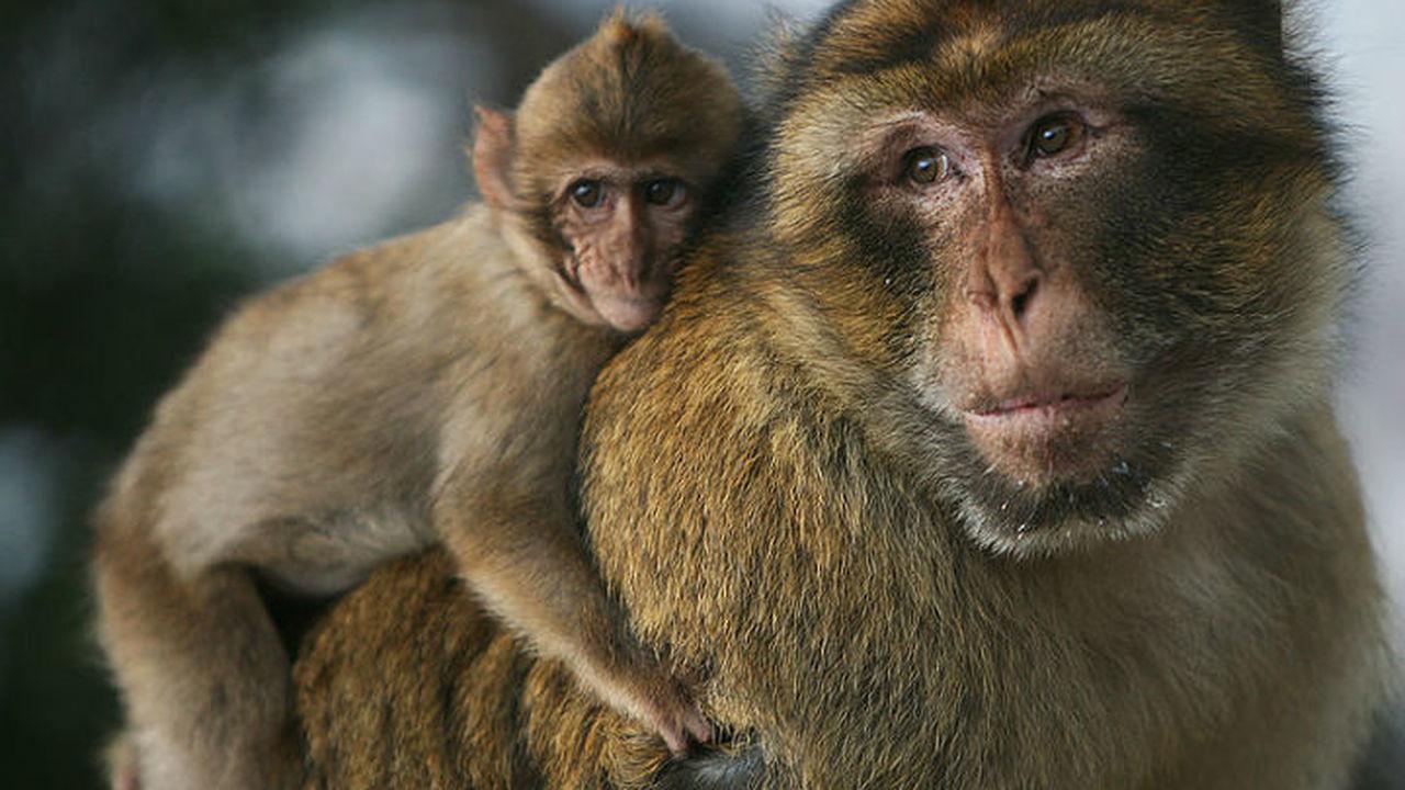 Исследование: обезьяны и трехлетние дети обучаются одинаково