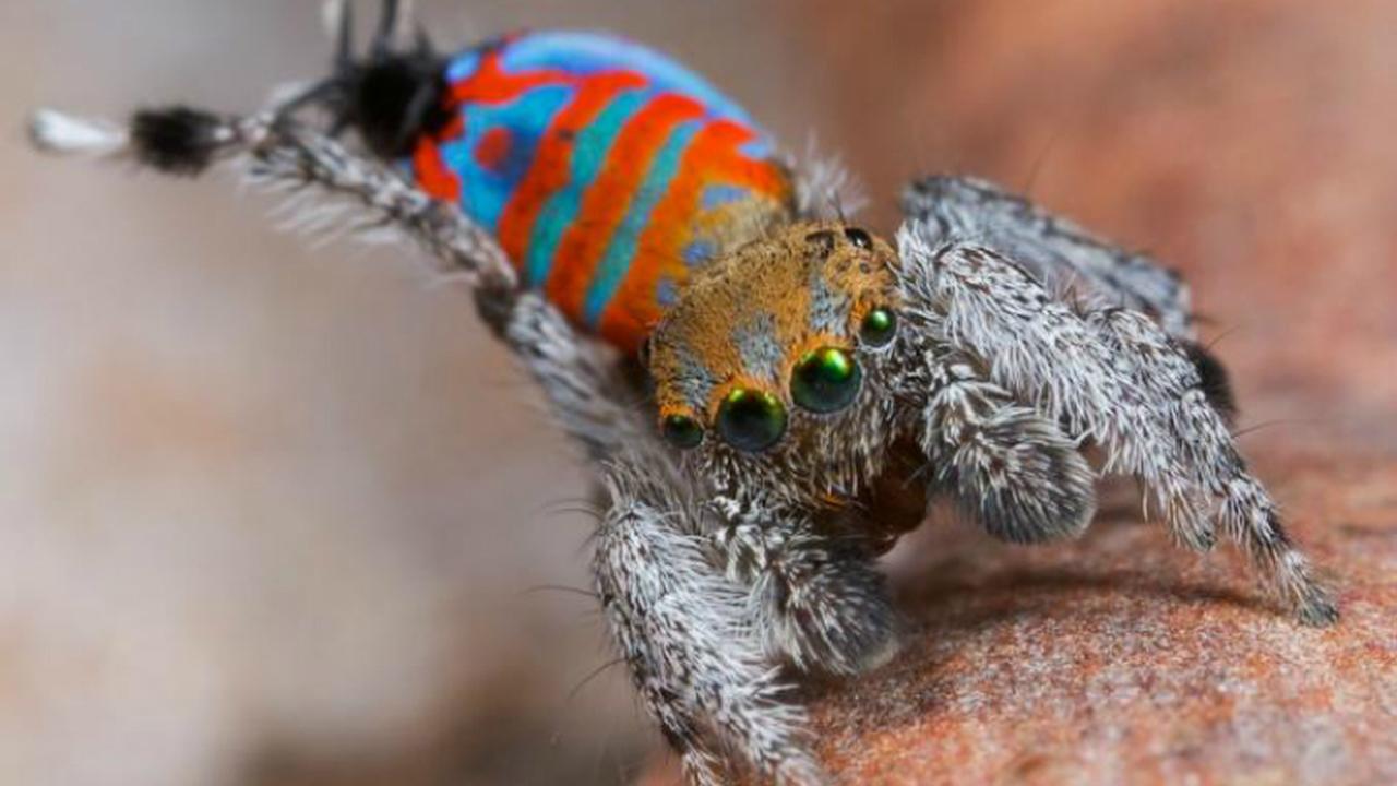 В Австралии открыты новые виды красочных пауков. Видео