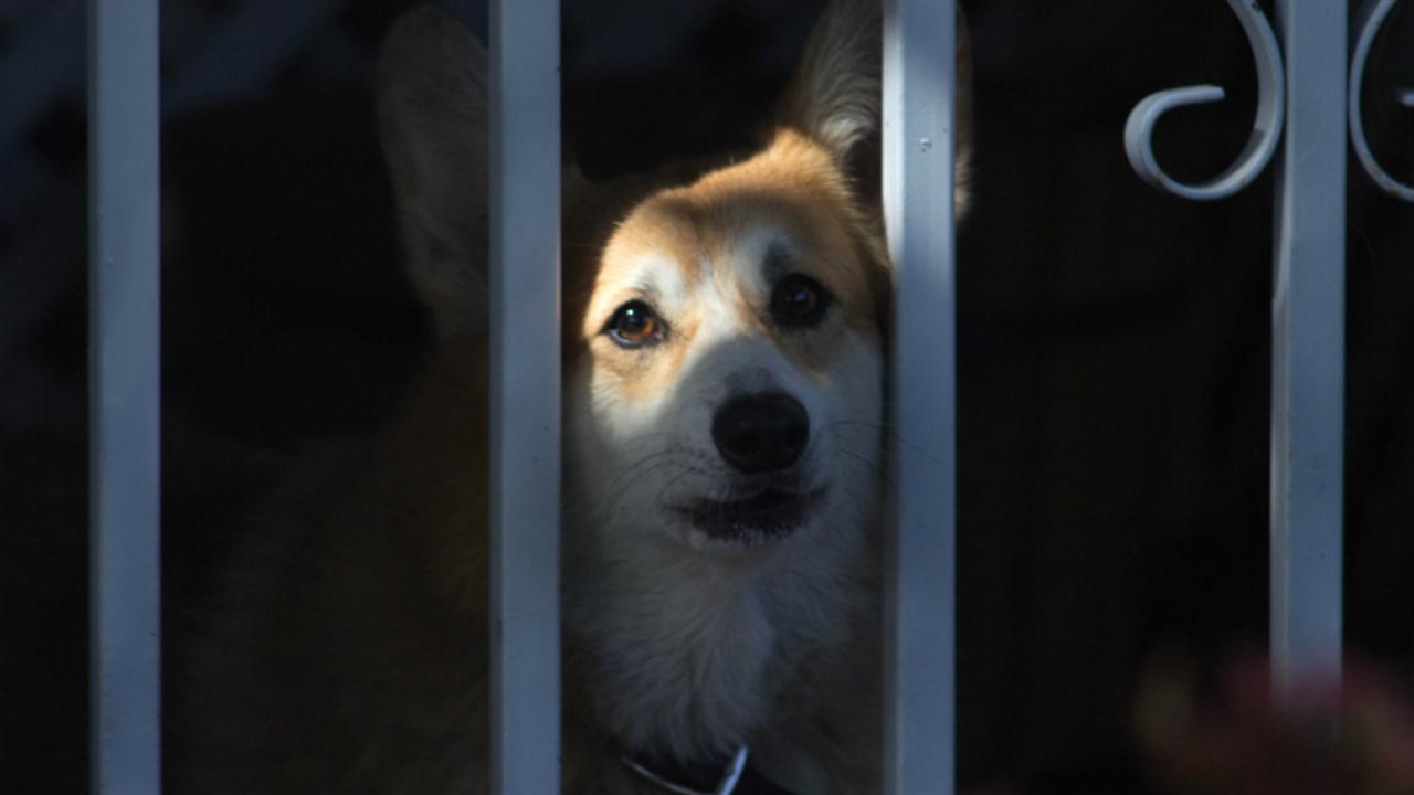 Собаки завоевывают сердца людей, глядя им в глаза