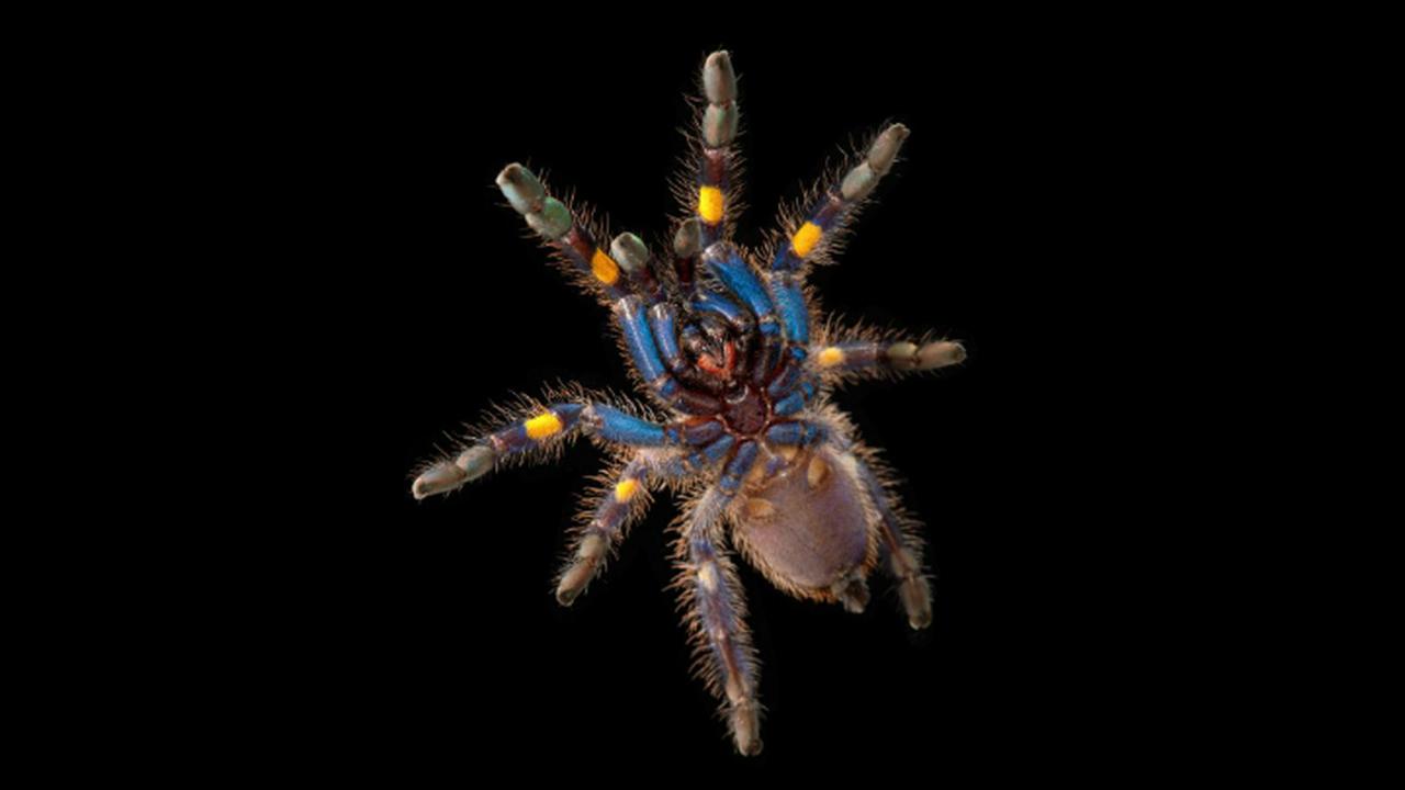 Наука по-прежнему не может объяснить синий цвет пауков-птицеедов