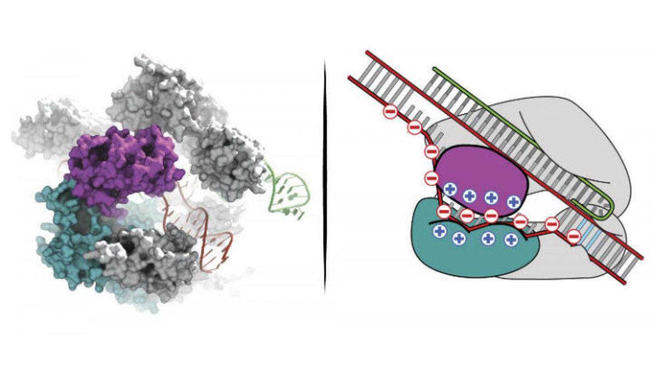 Биологи ещё острее заточили молекулярные ножницы
