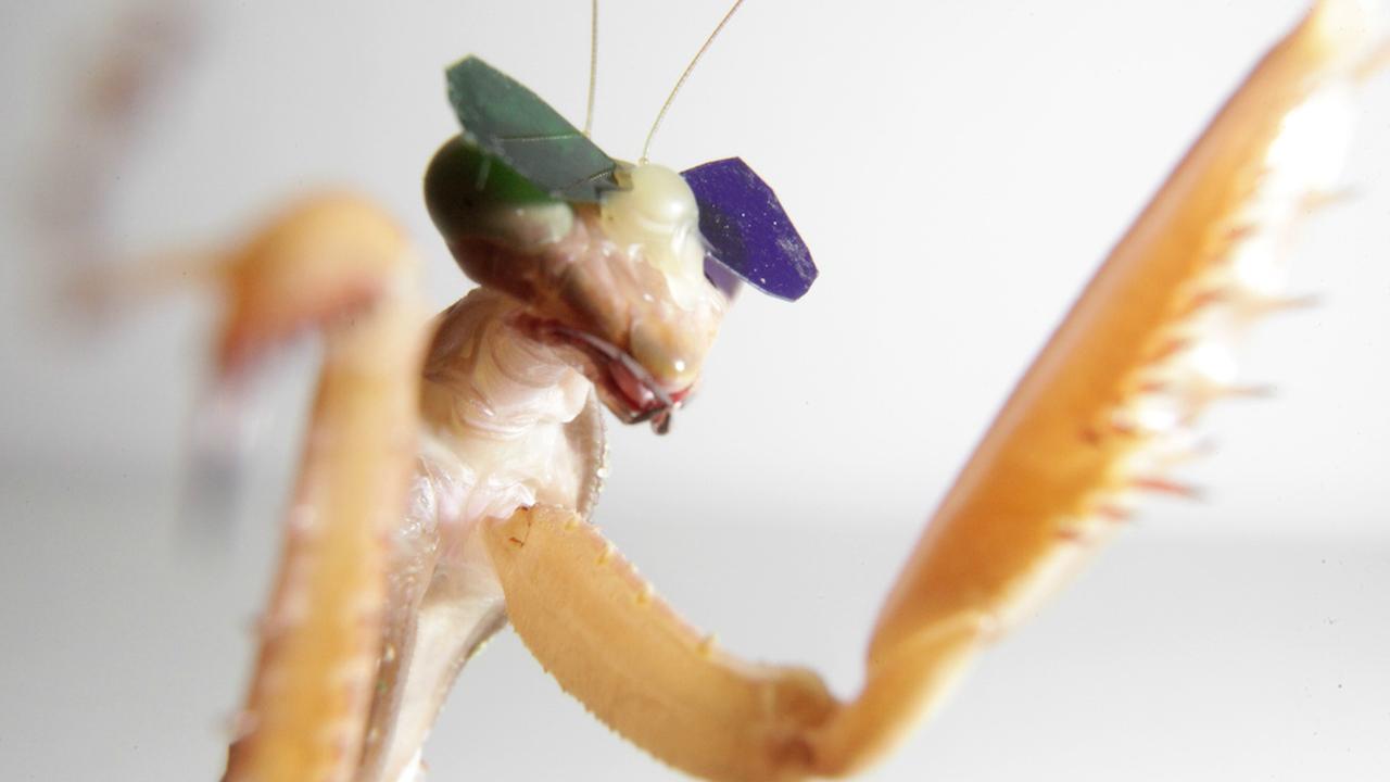 Учёные надели на богомолов 3D-очки, чтобы изучить их зрение