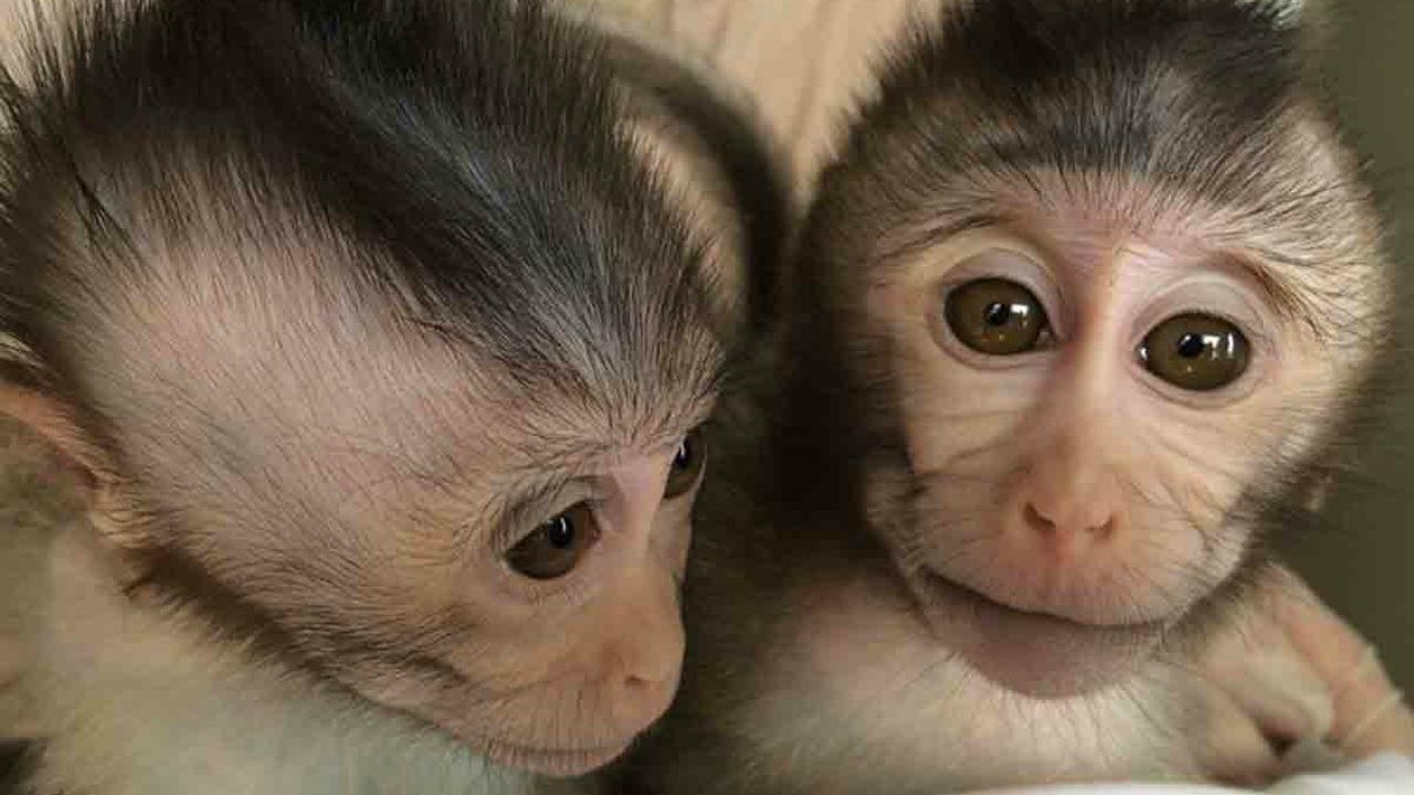 Генетически модифицированные обезьяны помогут понять природу аутизма