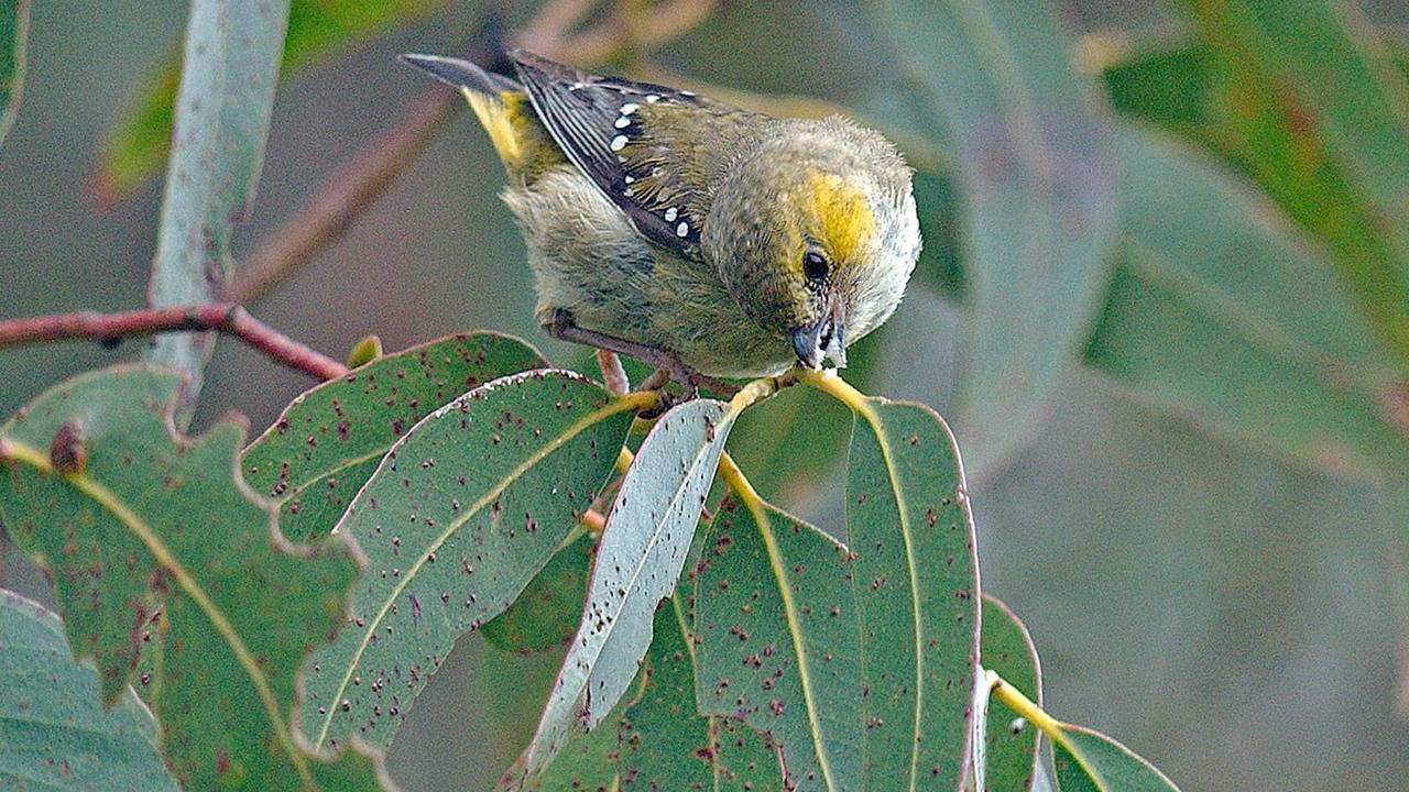 """Австралийские птицы ведут собственное """"сельское хозяйство"""" для прокорма птенцов"""
