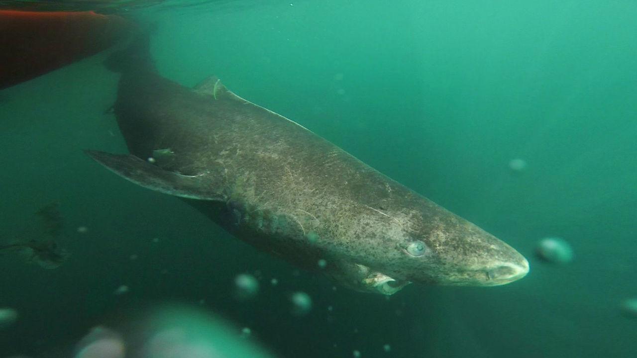 Гренландские акулы оказались самыми долгоживущими среди позвоночных животных