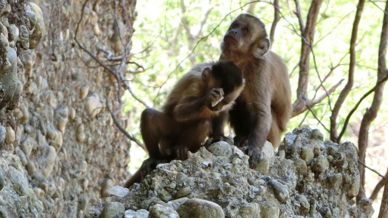 Дикие обезьяны в Бразилии создают каменные ножи, но не знают, что с ними делать