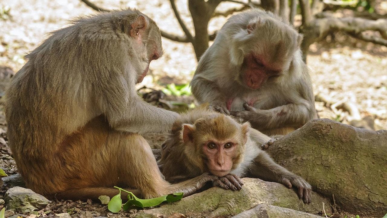 Популярность полезна для здоровья – особенно у обезьян