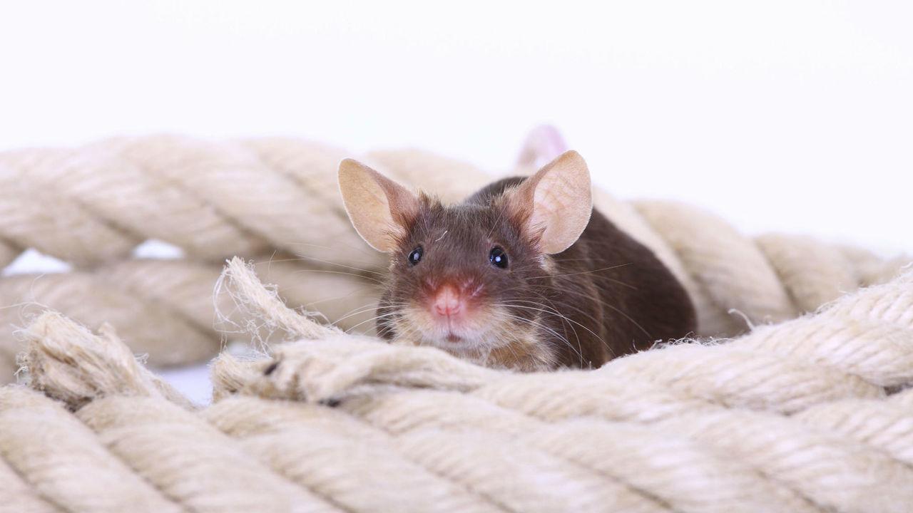 Как определить счастлива ли крыса? Нужно присмотреться к её ушам