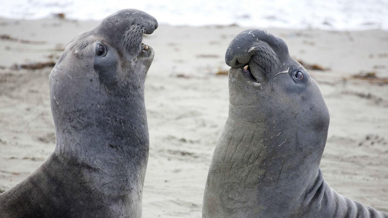 """Морские слоны распознают """"акцент"""" друг друга, чтобы не нарваться на грозного соперника"""
