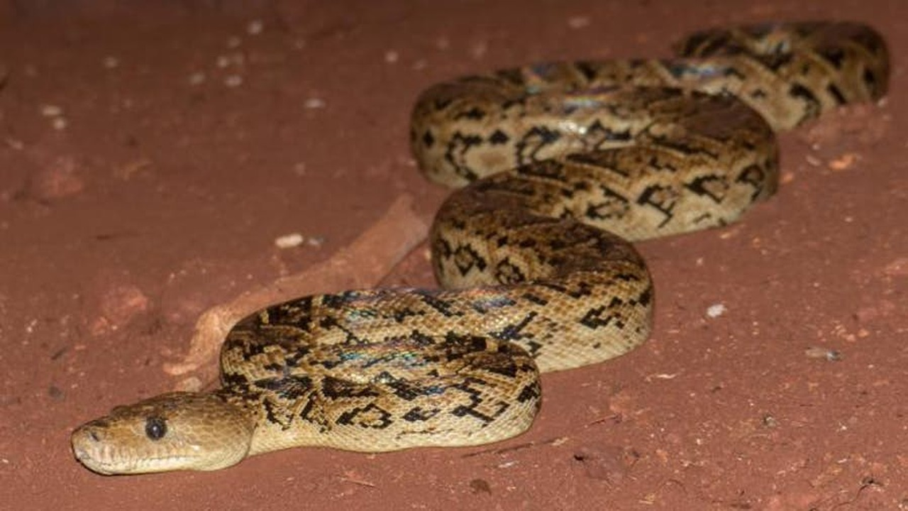 У змей впервые замечены случаи коллективной охоты