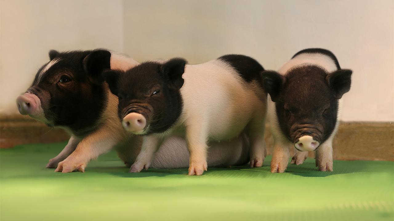 Вирусам дорога закрыта: органы ГМ-свиней стали менее опасными для человека