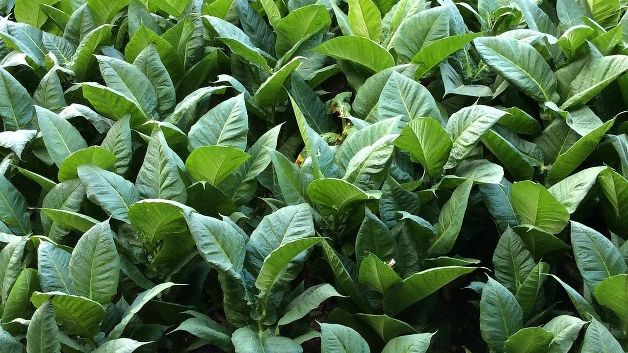 Табачные растения помогут победить полиомиелит и вирус Зика
