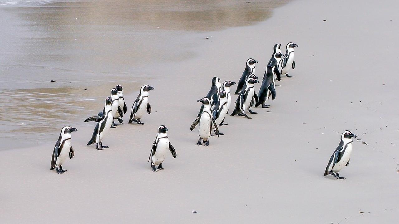 Вместе эффективнее: биологи впервые описали стратегию коллективной охоты пингвинов