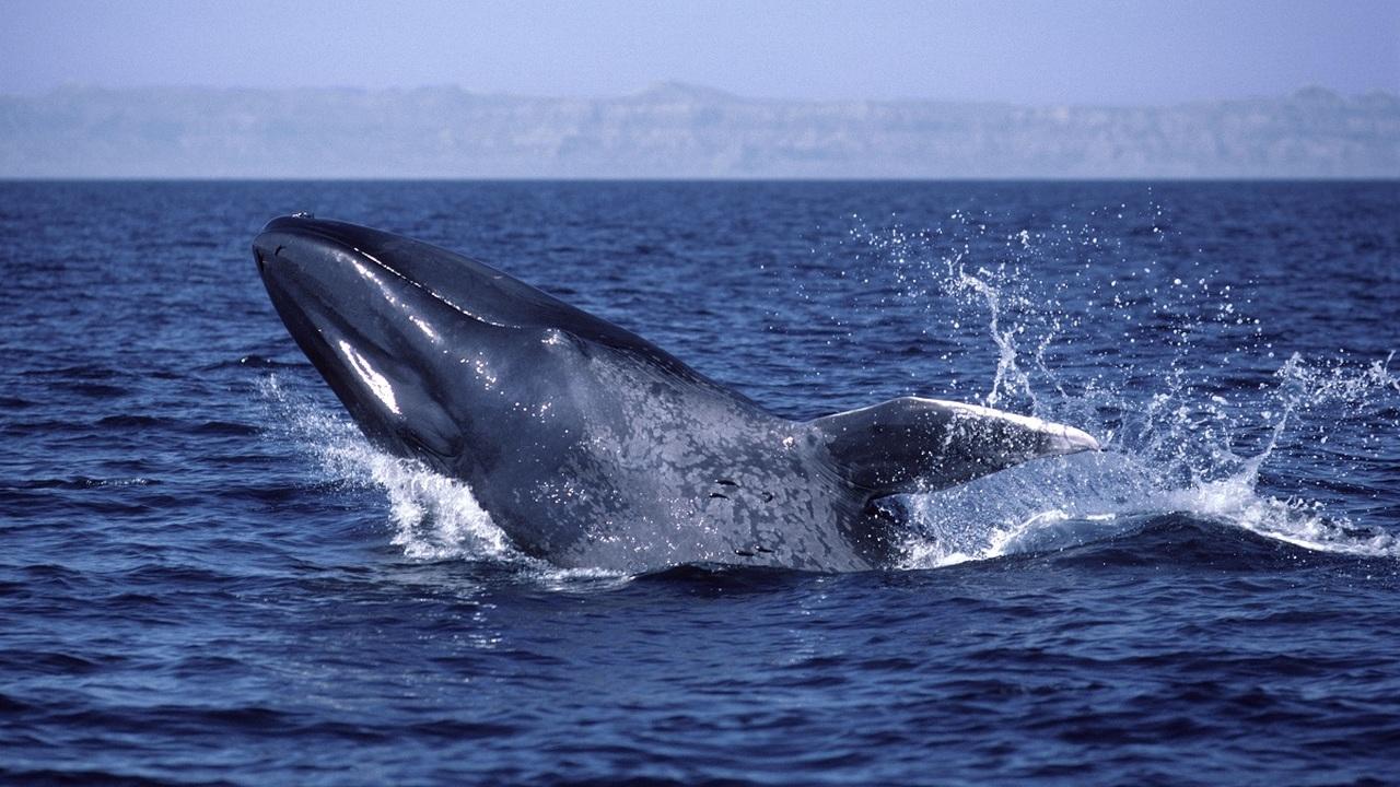 """Все средства хороши: синие киты освоили """"левостороннее движение"""" для эффективной охоты"""