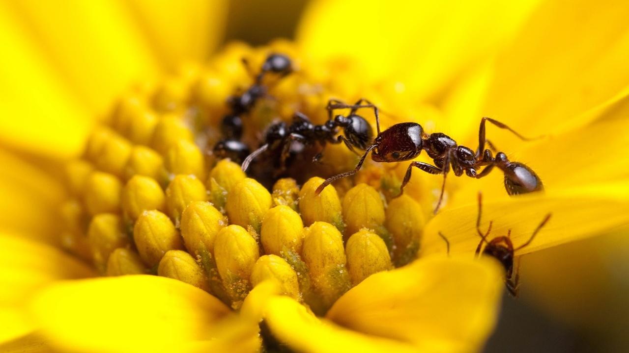Разработать новые антибиотики учёным помогут муравьи
