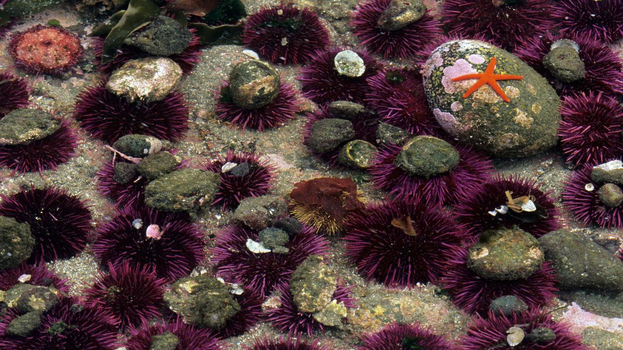 Биологи: самки морских ежей вооружают потомство для жизни в суровых условиях