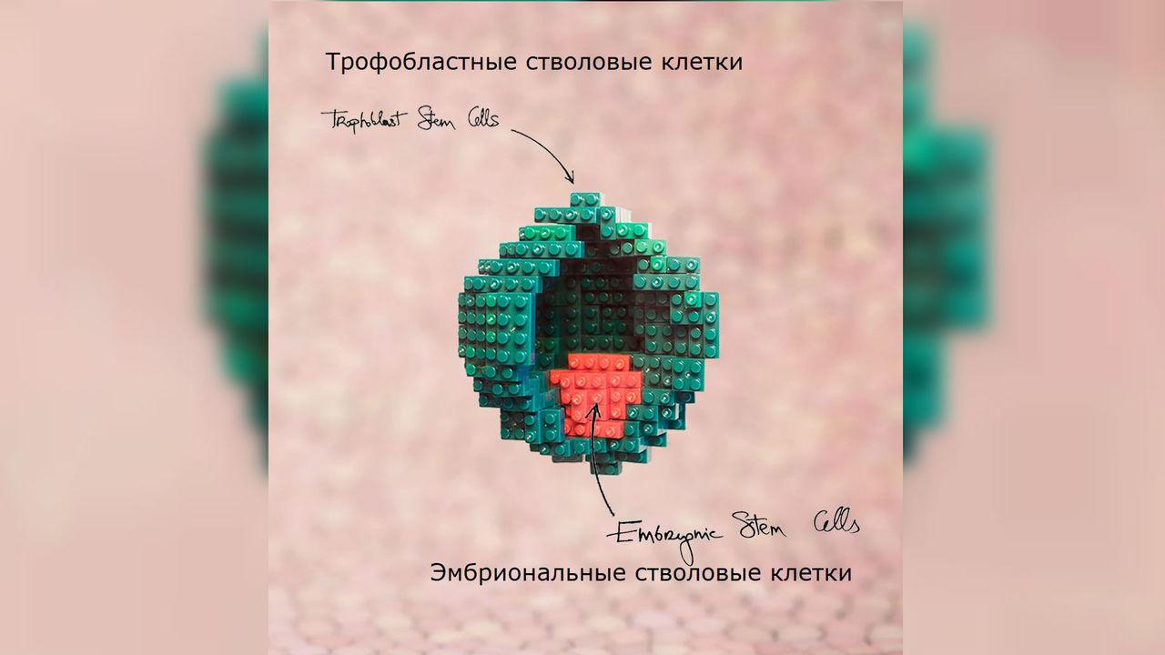 """Биологи впервые собрали мышиный """"эмбрион"""" прямо из стволовых клеток"""
