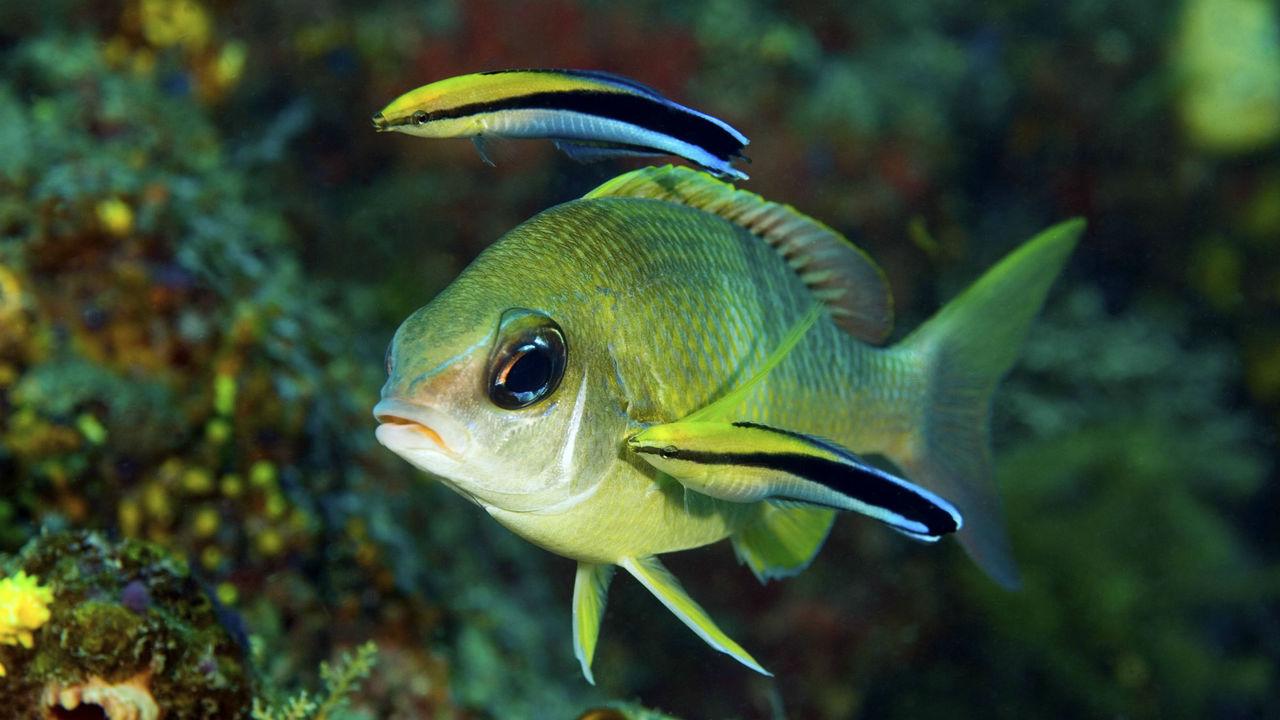 Даже собакам неведомо: крошечная рыбка удивила биологов, узнав себя в зеркале