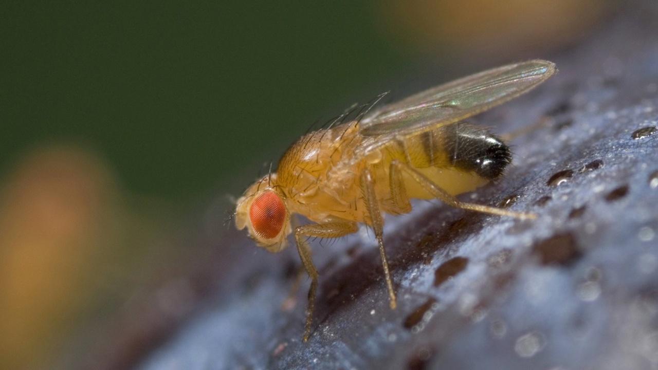 Плодовые мухи используют внутренний биокомпас, чтобы ориентироваться по солнцу