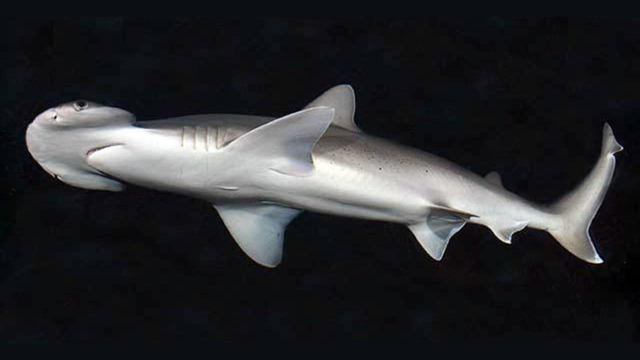 Первая травоядная: биологи обнаружили акул, которые питаются водорослями