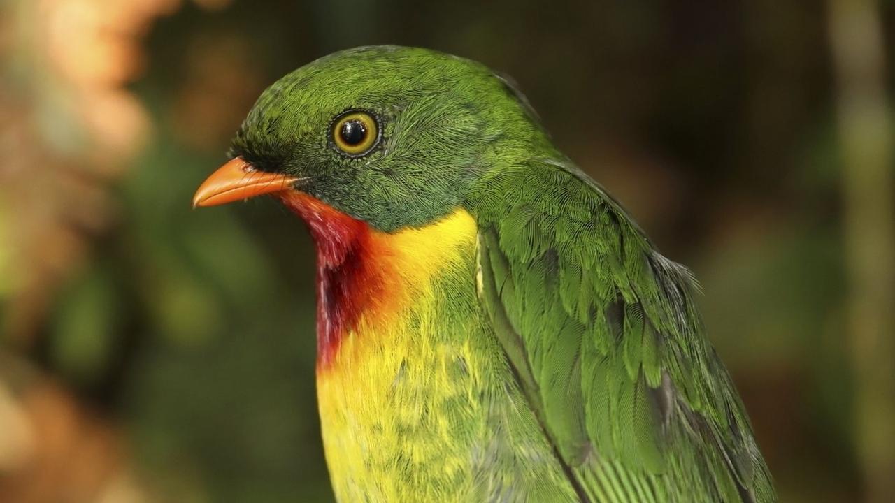 """""""Эскалатор вымирания"""" запущен: из-за глобального потепления сокращаются популяции тропических птиц"""