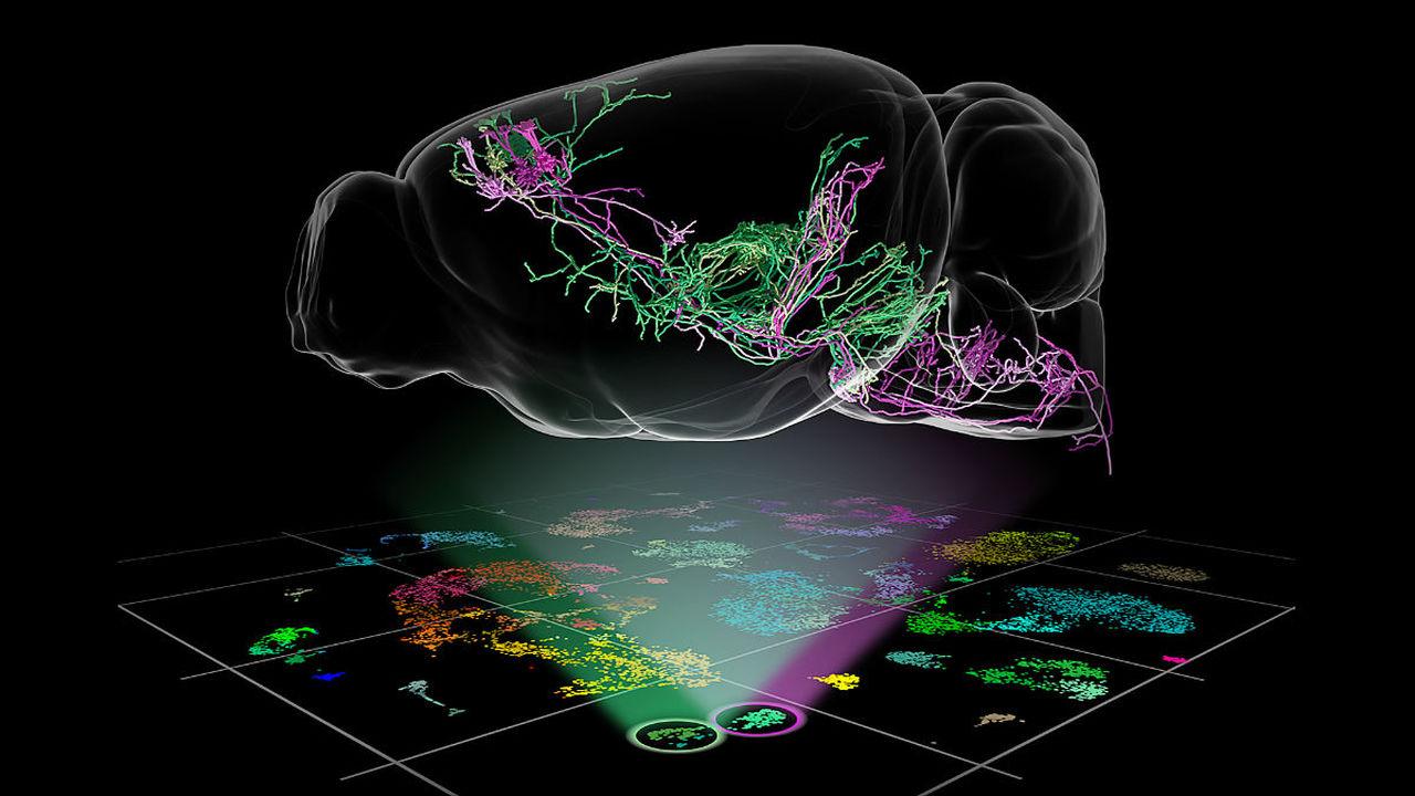 Создан самый подробный перечень типов клеток в коре головного мозга