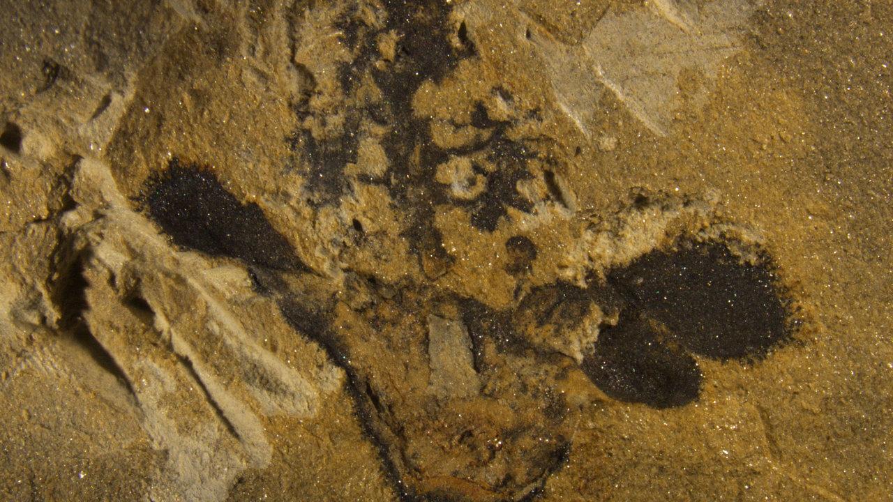 Обнаружены древнейшие бесспорные ископаемые остатки цветкового растения