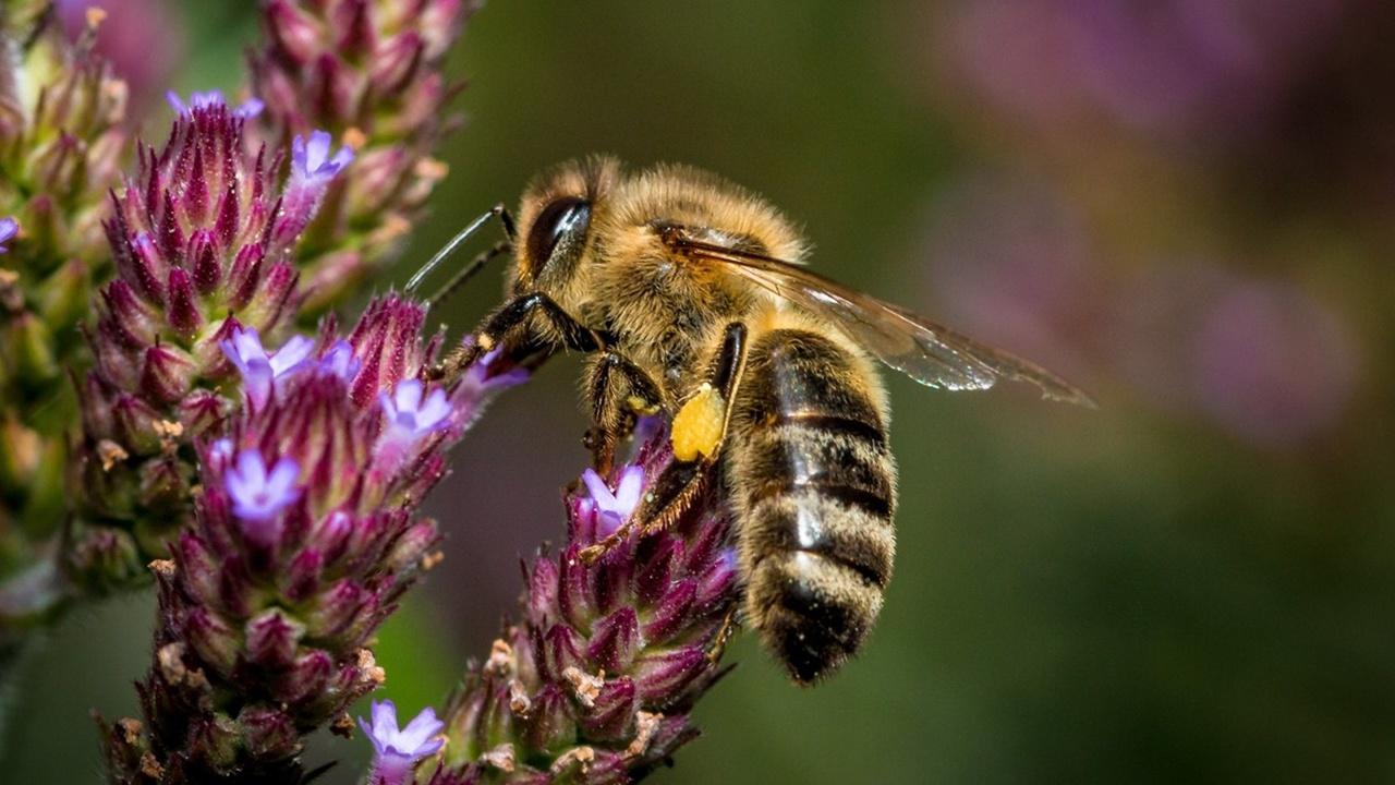 Пчёлы вдохновили учёных на создание нового водостойкого суперклея