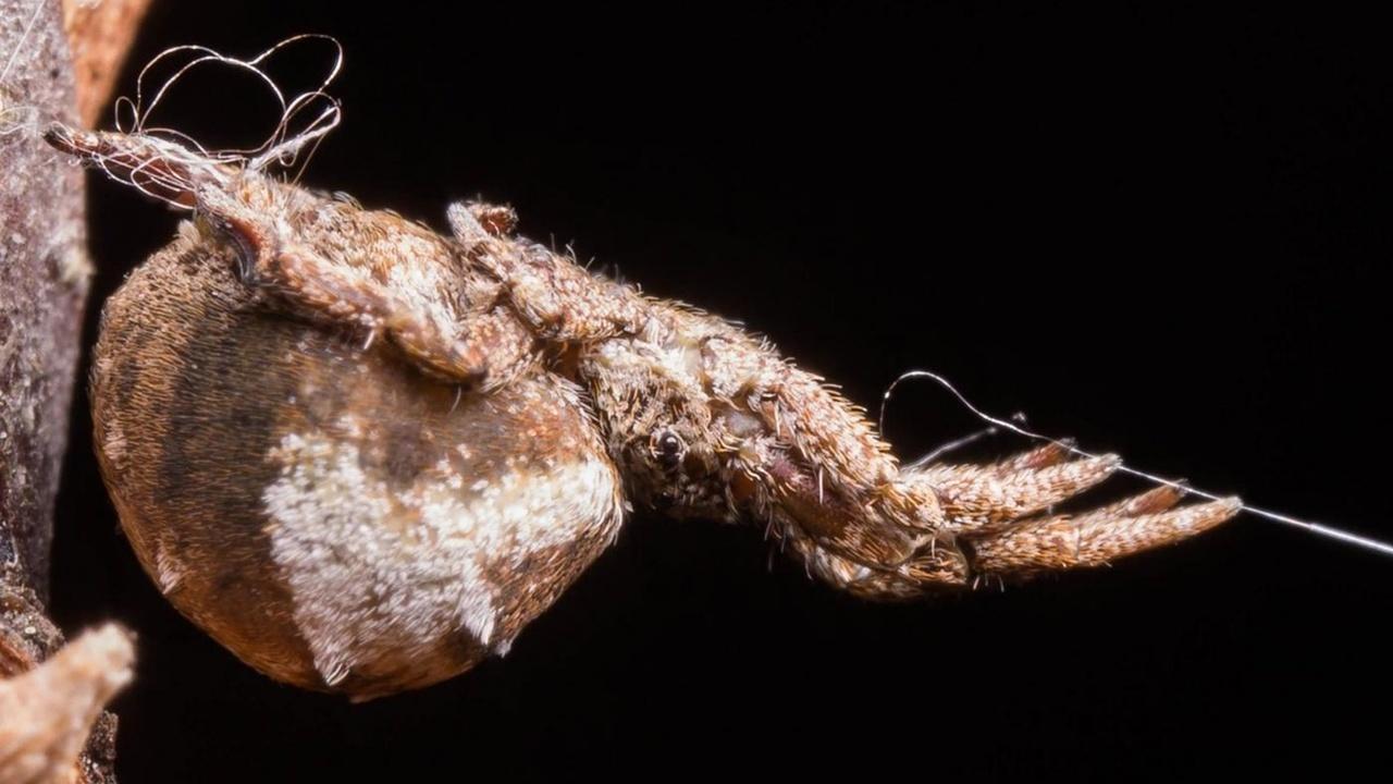 Как из рогатки: пауки-ткачи научились катапультироваться к жертве