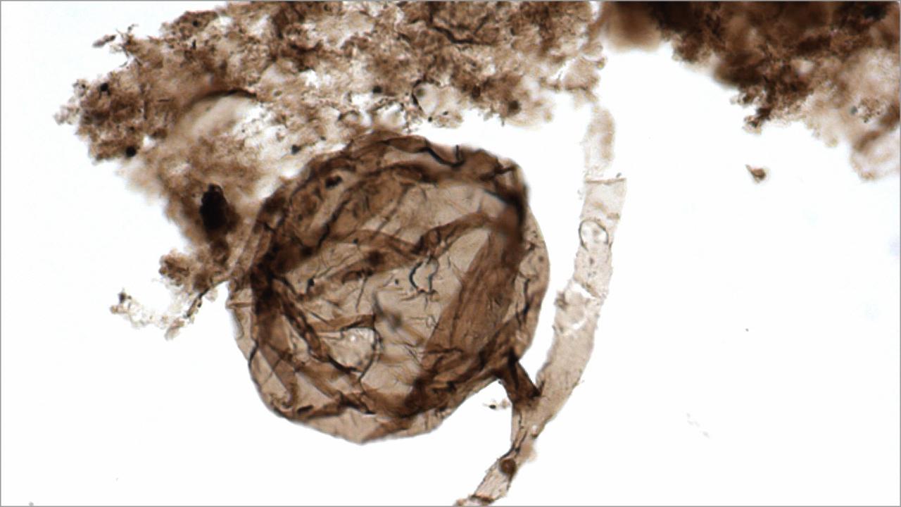 Найдены древнейшие окаменелости грибов возрастом миллиард лет