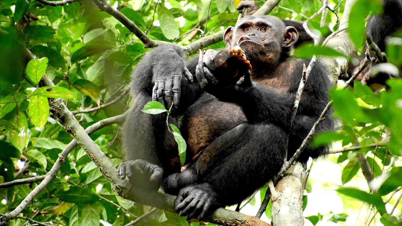 Шимпанзе едят мясо черепах, раскалывая их панцири как орехи