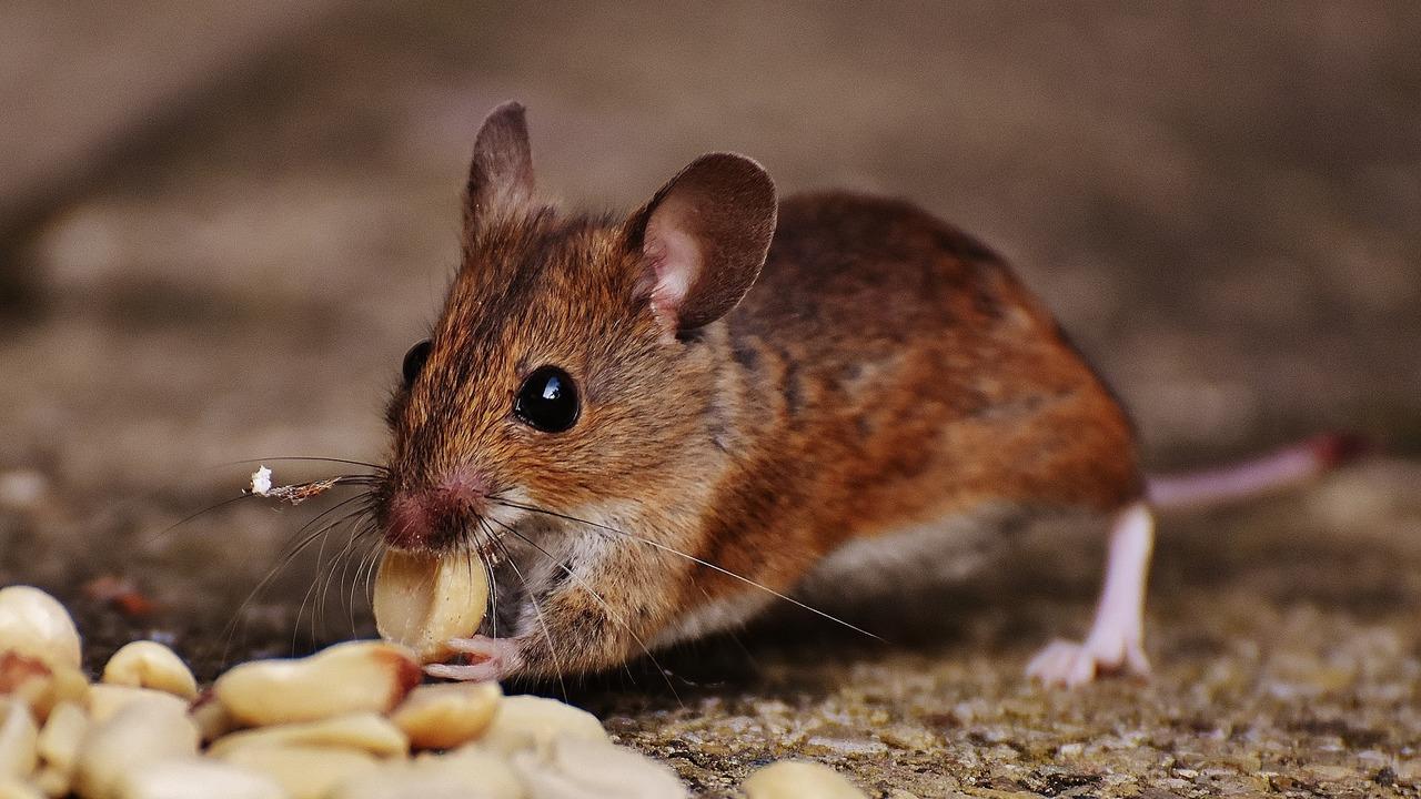 Стволовые клетки вернули мышам способность чувствовать запахи