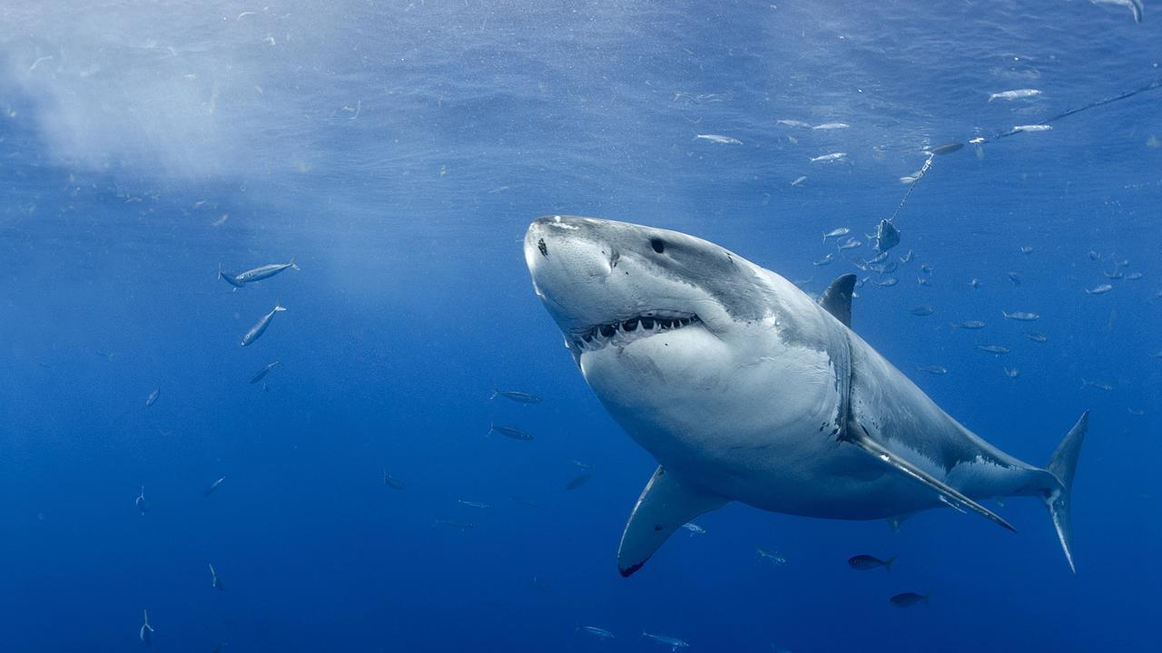Начинала с малого: зубы большой белой акулы указали на её миниатюрного плоского предка